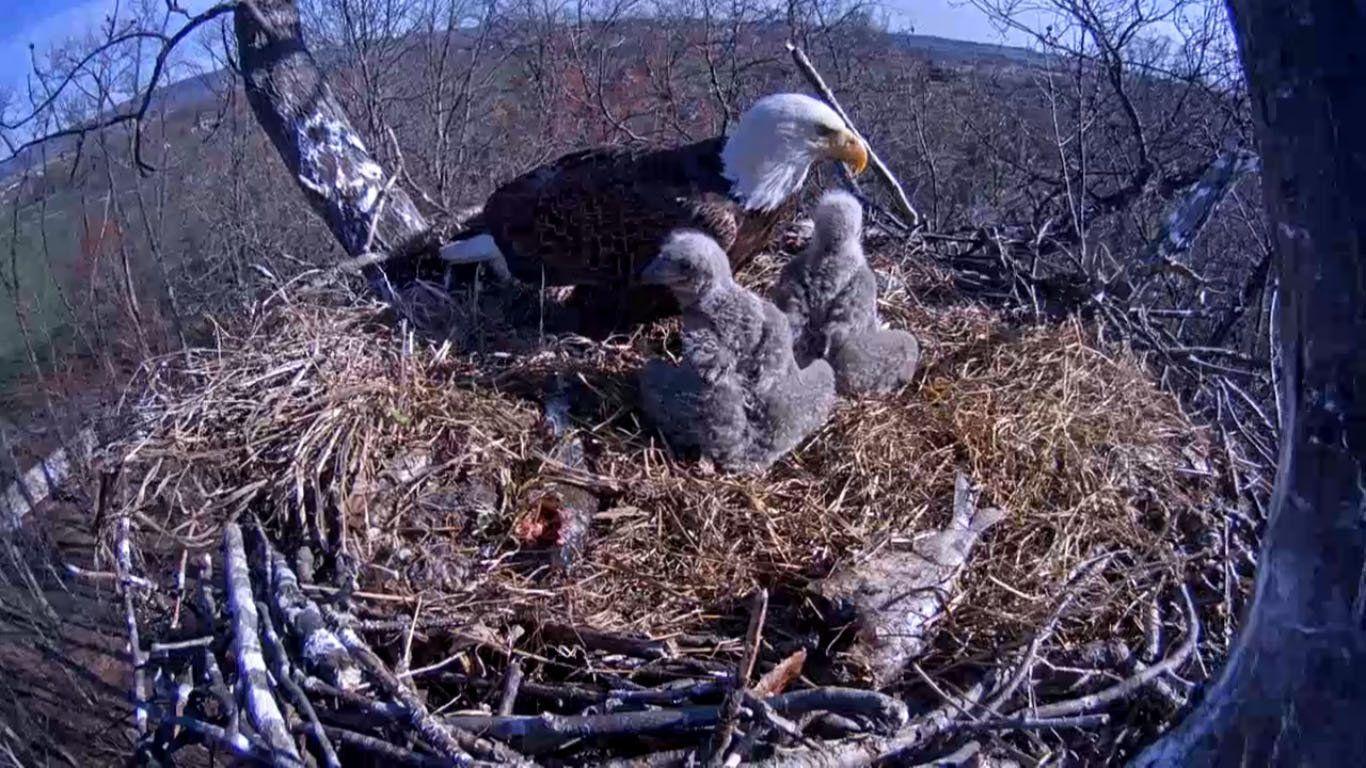 Blitz reccomend Live eagle nest webcam