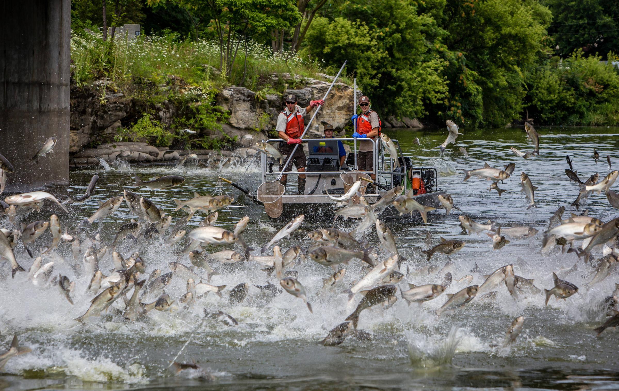 Frostbite reccomend Asian carp illinois river
