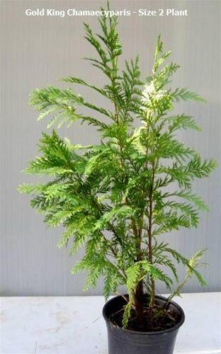 Golden shower cypress