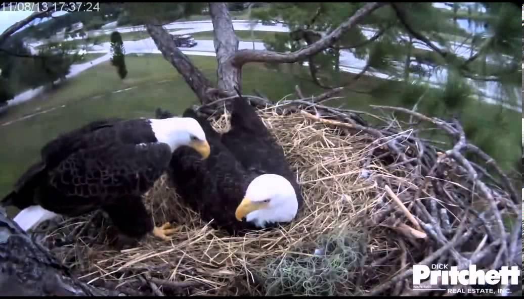 Combat reccomend Live eagle nest webcam