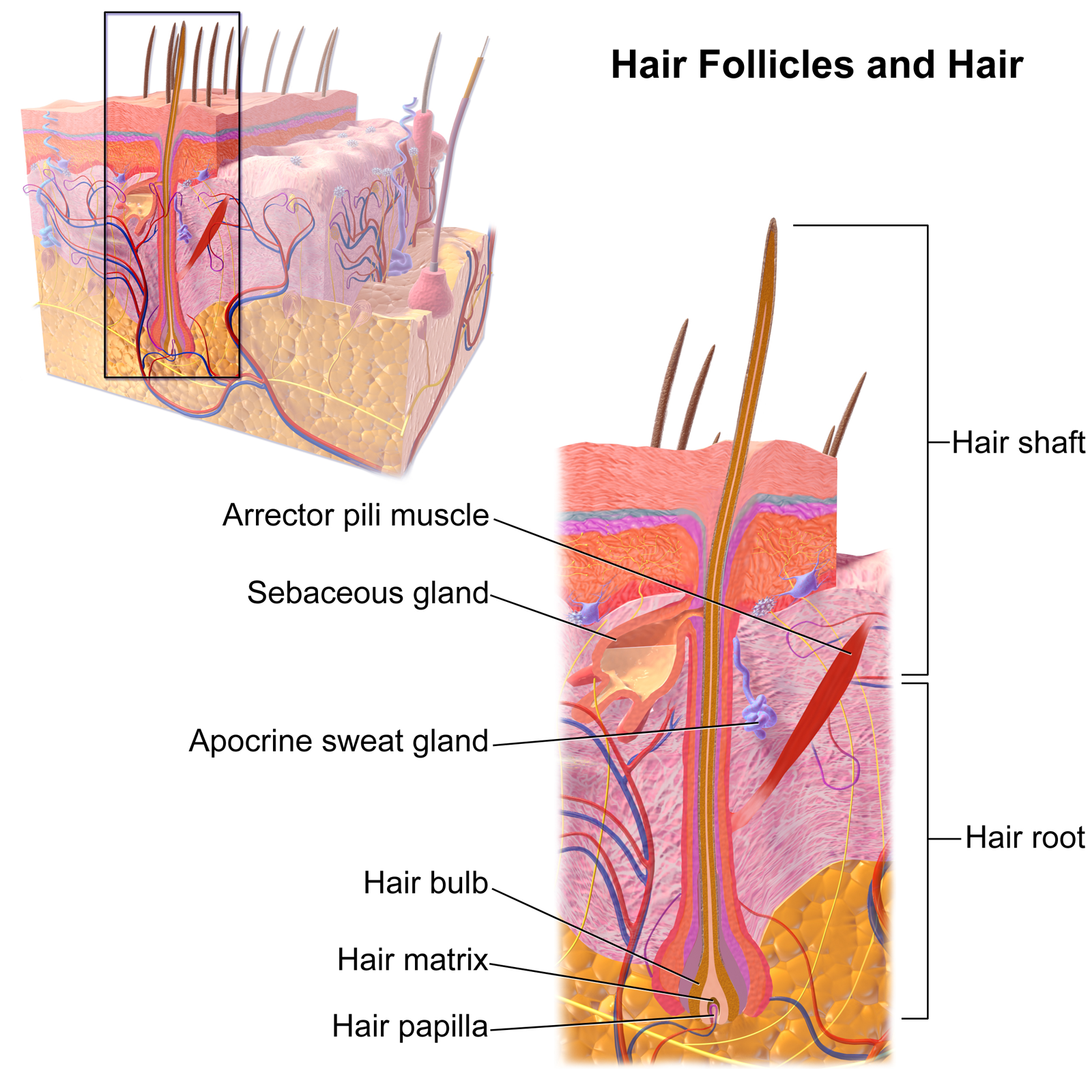 best of Pic Hair porn follicle