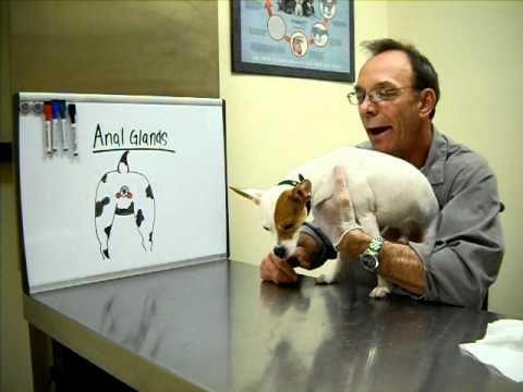 Creature reccomend Jack russell terrier anal sacs