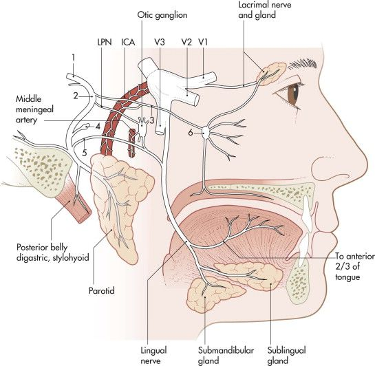 best of Facial Stylomastoid nerve foramen